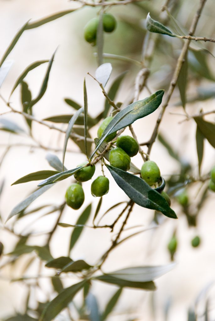 Spanish-olives-benefits